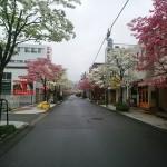 ハナミズキ朝日町通り (3)
