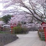平成27年4月19日新倉山浅間公園 満開の桜 (10)