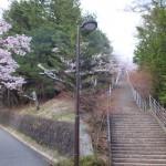 平成27年4月19日新倉山浅間公園 満開の桜 (4)