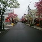 ハナミズキ朝日町通り (4)