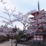 平成27年4月19日新倉山浅間公園 満開の桜 (12)