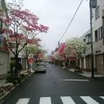 ハナミズキ朝日町通り (2)