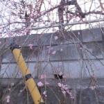 s-平成27年2月27日 (11)